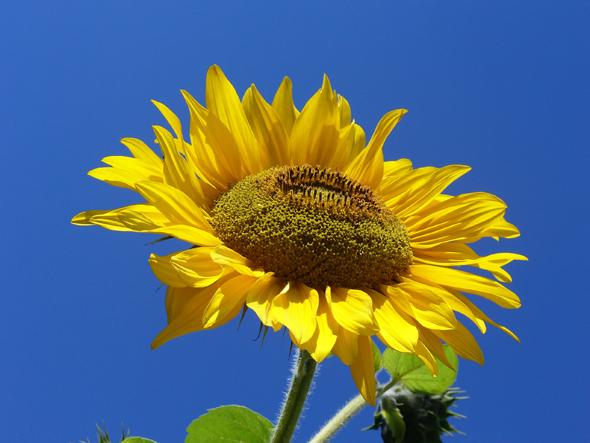sonnenblume-die-lacht